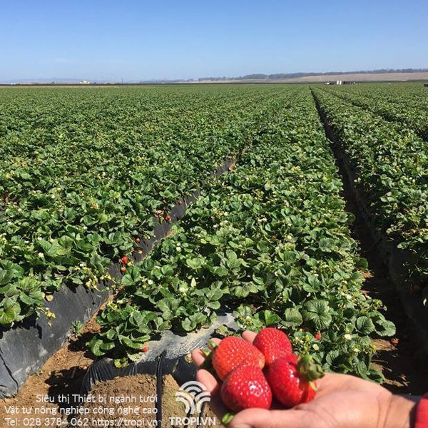 Phương-pháp-tưới-cho-cây-trồng-sử-dụng-màng-phủ-nông-nghiệp-2