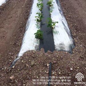 Phương-pháp-tưới-cho-cây-trồng-sử-dụng-màng-phủ-nông-nghiệp-3
