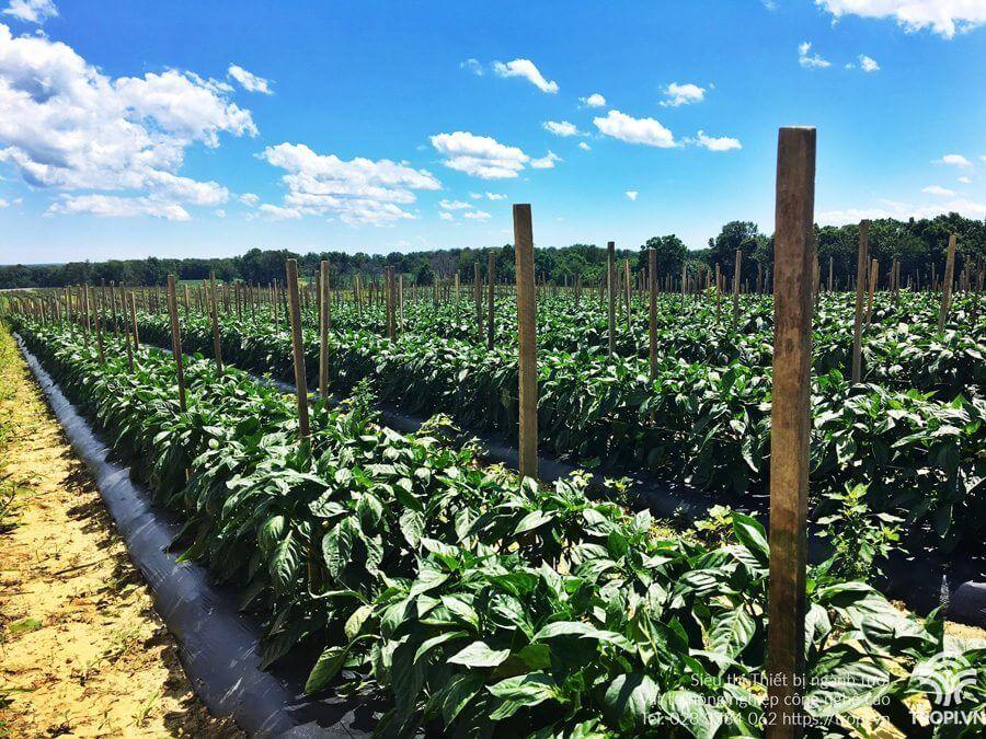 Phương-pháp-tưới-cho-cây-trồng-sử-dụng-màng-phủ-nông-nghiệp-4