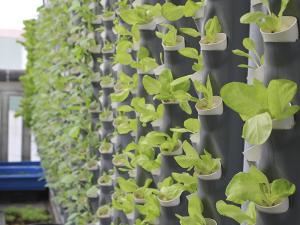 Các lưu ý khi trồng rau thủy canh tại nhà bạn nên biết