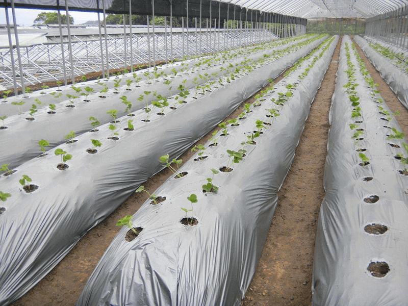 Màng phủ nông nghiệp bạc dùng trong nhà kính