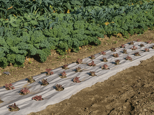 Cách sử dụng màng phủ nông nghiệp trong canh tác rau màu