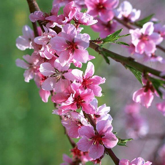 Sự tích cây hoa đào