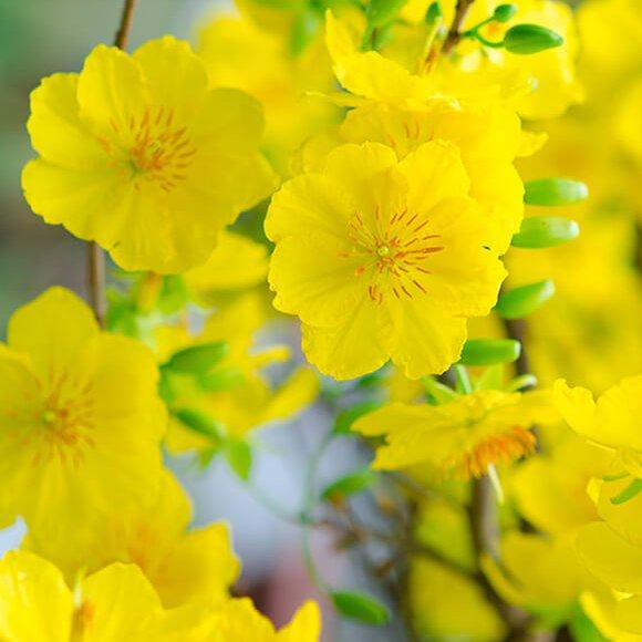 Sự tích cây hoa mai